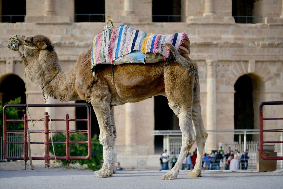 wielbłąd amfiteatr rzymski tunezja